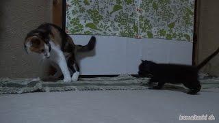母猫が恋しいのか、ミケを母猫と思ったのか、お乳を狙らって為に追い掛...