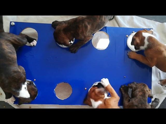 Alimentation des chiots boxers
