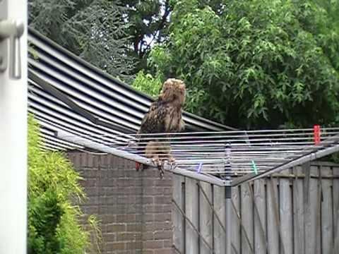 Oehoe Uil in de tuin op de droogmolen