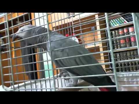Kicauan Burung Beo Menyejukkan Hati
