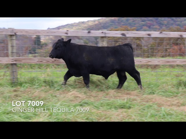 Ginger Hill Angus Lot 7009