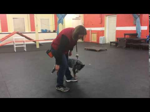 Training | Trick training beginning the Figure 8 trick | Solid K9 Training Dog Training