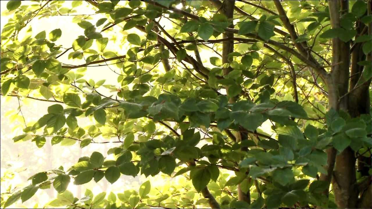 Rboles del jard n bot nico atl ntico el haya youtube for Arboles del jardin botanico