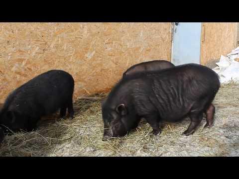 Вьетнамские вислобрюхие свиньи. Почему именно эта порода? Деревенская жизнь.