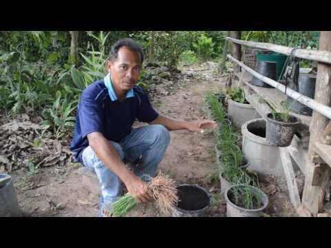 ผักปลูกง่าย - วิธีปลูกผักกุยช่ายในกระถาง ได้ทั้งผักปลอดสารพิษและพืชประดับ