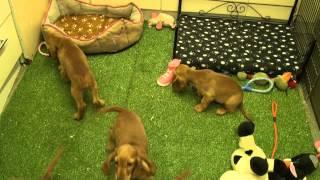Little Rascals Uk Breeders New Litter Of Golden Cocker Spaniel Boys And Girls