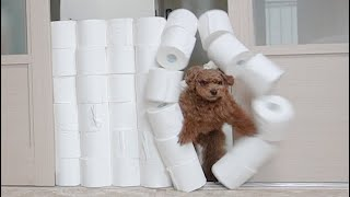 A dog challenging the Toilet Paper Wall (Eng Sub)