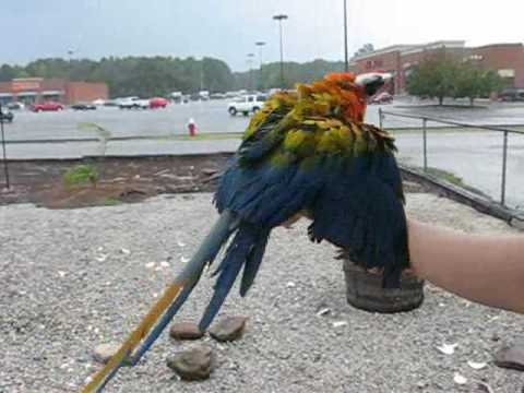 CAMELOT MACAW BATHING
