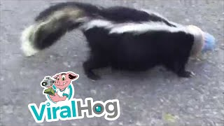 Skunk is Rescued from a Stinky Situation