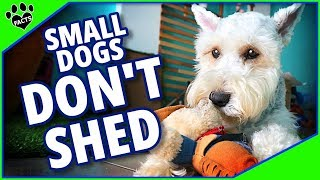 10 Small Dog Breeds That Dont Shed