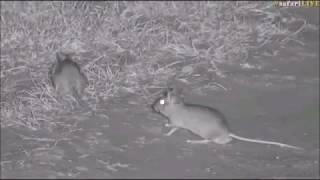 Safari Live : Tayla\'s funny Gerbil or Rat sighting this evening Nov 04, 2017