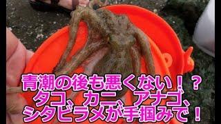 東京湾の青潮の大チャンス!?タコ、カニ、アナゴ、シタビラメなどなどが手掴みで獲れちゃった!