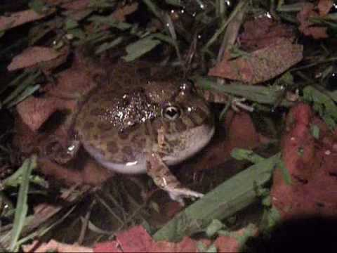 Ornate burrowing frog calling