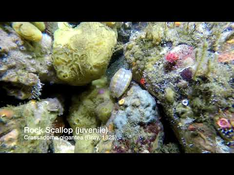 Dive Campbell River - Steep Island Marine Life