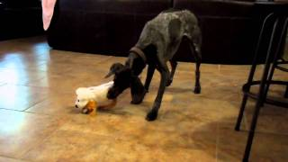 German Shorthaired Pointer And Weimaraner Play With Laughing Dog Part 2