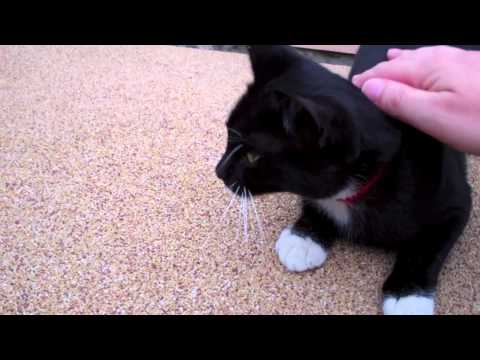 Cute Cat Shows off Black & White Coat, White & Pink Feet, Whiskers