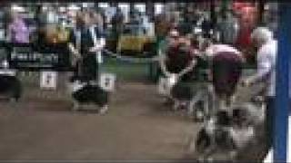This is the Shetland Sheepdog class at a CKC conformation show host...