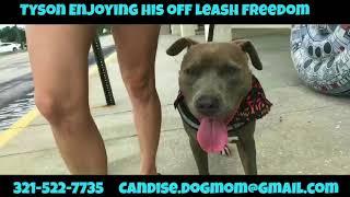 2yo Pitbull : Tyson | Pitbull Dog Trainer | Amazing New Orleans Dog Trainer