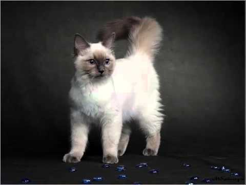 Birman Kitten | Set Of Cat Picture Collection