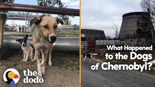 What Happened to the Dogs of Chernobyl? | The Dodo