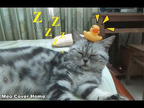 Try To Put Duck Balancing on Cat's Heads | Funny Cat Vines  2017 | Meo Cover Home