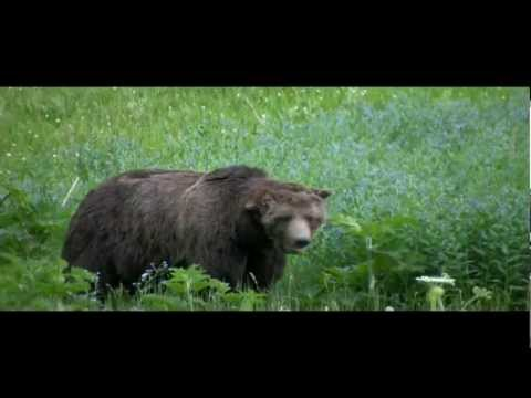 """Scarface"" the Grizzly Bear - Yellowstone National Park"