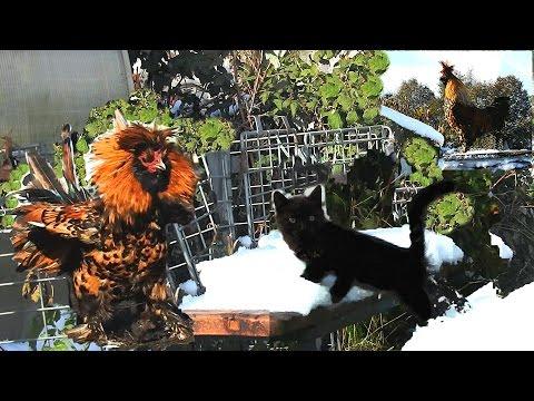 Pavlov Roosters Kittens Петушки распетушились Кот да петух Бегемотик на снегу Siberian farm cats