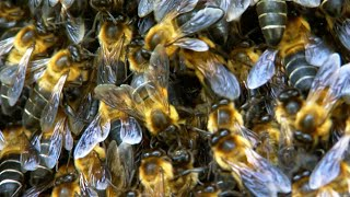 100 Pound Giant Bee Colony Hanging Off A Cliff | BBC Earth