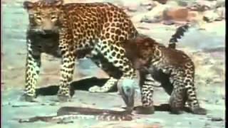 サバンナの荒野の中でヒョウとキングコブラの対決です♪怖い野獣と怖い毒...
