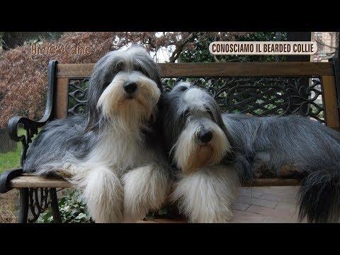 Conosciamo il britannico Bearded Collie - Amico cane
