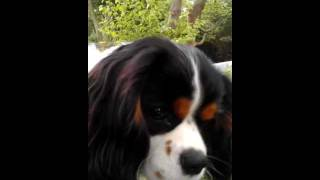 Cavalier King Charles Spaniel, Chester Talks