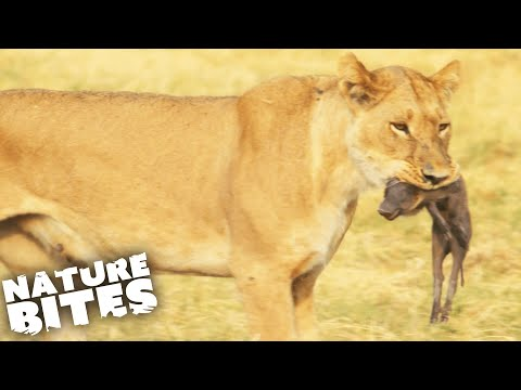 Lions Hunt and KILL Baby Warthog   Africa's Deadliest   Nature Bites