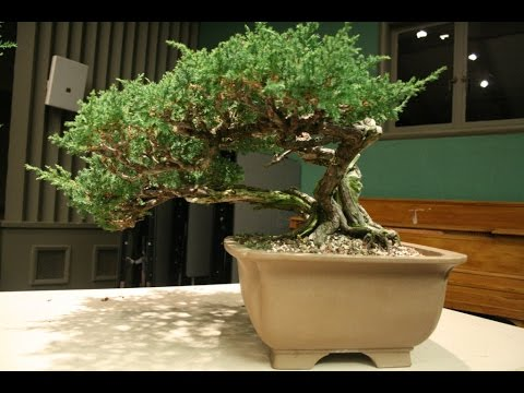 Prostrata Juniper Bonsai Or San Jose Juniper Bonsai Youtube
