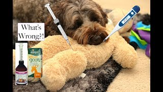 How to tell if your dog is sick - some home checks & remedies