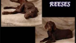 Las Vegas Weimaraner Club & Rescue Video