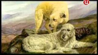 Все породы собак. Ирландский волкодав