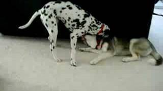 Siberian Husky Vs Dalmation
