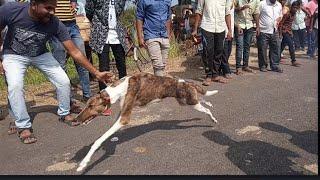 Kolhapur dog racing club 🐕