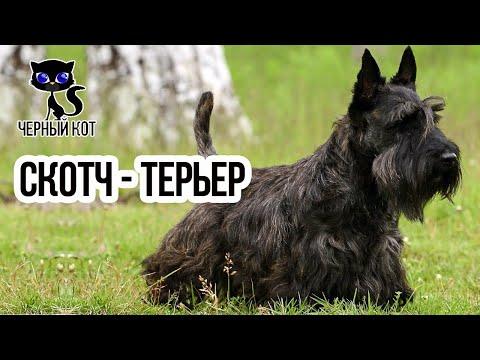 ✔ Скотч-терьер – собака драчливая, но чрезвычайно умная. Всё о породе скотч-терьер