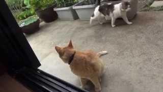 【寝そべる猫】後を追うのは のらの専売特許なのに Nora and Tora that lie in the garden.