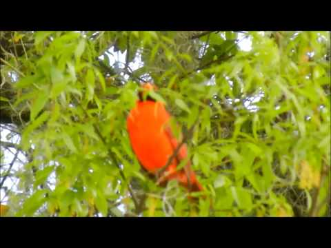Male Cardinal Sings His Heart Out! 3-18-'14