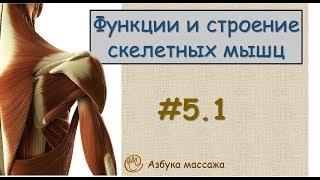Мышечная ткань. Строение и функции скелетных мышц | Урок 5, часть 1 | Видеоуроки по массажу(Видео уроки для начинающих массажистов