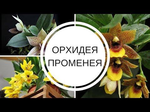 Орхидея ПРОМЕНЕЯ  Происхождение и условие содержания