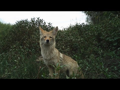 Camera Trapping at American Prairie Reserve