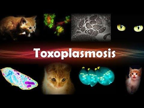 Токсоплазмоз.  А виновата ли  кошка?