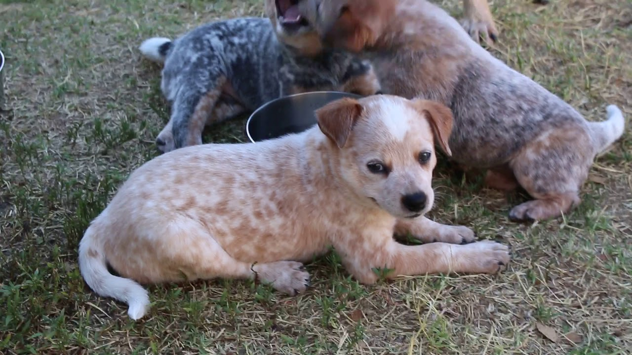 6 Weeks Mini Heeler Puppies You