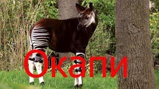 Окапи— вид парнокопытных, единственный представитель рода окапи.