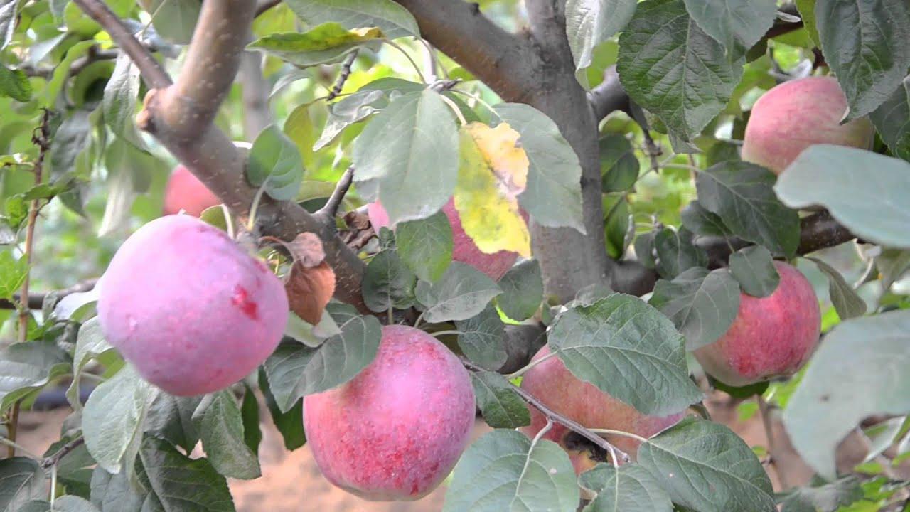 сорта яблок либерти фото и описание несколько, программа попросит