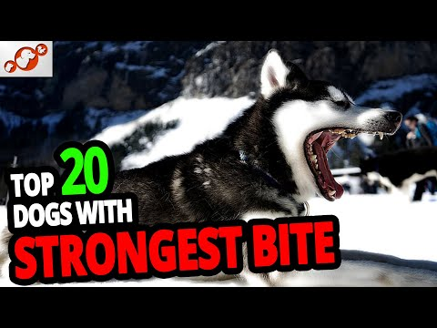 Strongest Dogs – TOP 20 Dog Breeds With The Strongest Bite In The World!