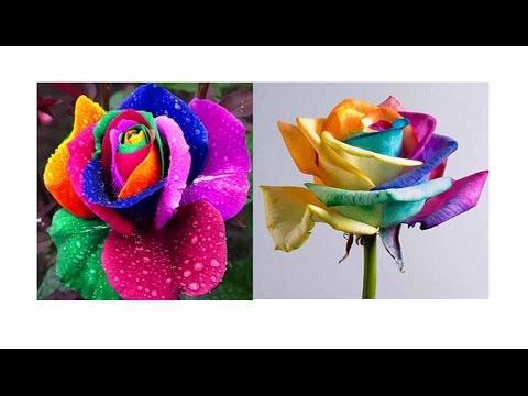 Семена Радужной Розы из Китая. Как прорастить семена